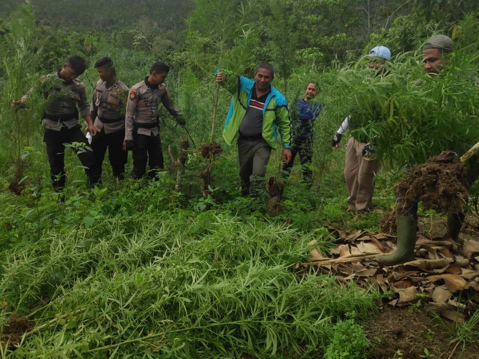 Pengembangan Kasus Ganja dicelana Dalam, Polisi Temukan Ladangnya
